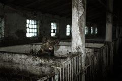 Schmutziges Schwein Lizenzfreie Stockbilder