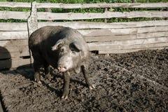 Schmutziges Schwein und ihre Kinder Stockfotos