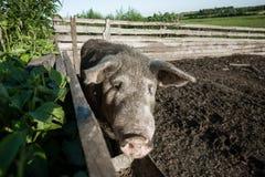 Schmutziges Schwein und ihre Kinder Stockfoto