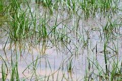 Schmutzwasserüberschwemmung, Flutabwasser, Moosüberschwemmung auf grasartigem Boden nach Regen, Abwasser ist Umweltproblem-Versch stockbilder