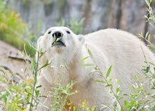 Schnüffelnder Eisbär Lizenzfreies Stockfoto