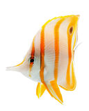 Schnabel coralfish, copperband butterflyfish, getrennt stockfoto
