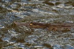 Schnabeltier - Ornithorhynchus anatinus, Schnabeltier, semiaquatic Eierlegensäugetier endemisch nach Ost-Australien, schließend e lizenzfreie stockfotos