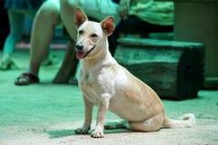 Schnappschuß eines Hundes mit kurzem Körper Stockfotografie