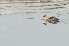 Schnatterenten-Vogel Stockfoto