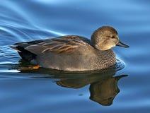 Schnatterentenwasservogelschwimmen im Profil Stockbild