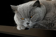 Schnauze der grauen britischen Katze Stockfoto