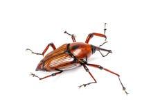 Schnauzenkäfer auf weißem Hintergrund lizenzfreie stockfotografie