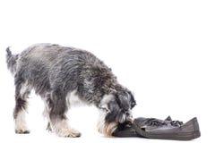 Schnauzer που ερευνά ένα παλαιό ζευγάρι των παπουτσιών Στοκ εικόνες με δικαίωμα ελεύθερης χρήσης