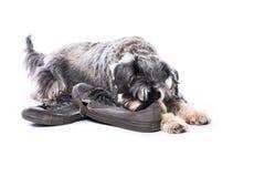 Schnauzer που φρουρεί ένα ζευγάρι των παλαιών παπουτσιών Στοκ Εικόνες