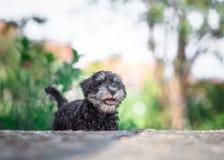 schnauzer щенка портрета предпосылки близкий миниатюрный вверх по белизне Стоковая Фотография
