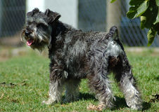 Schnauzer. A salt and pepper miniature Schnauzer dog standing on the lawn in the garden Stock Photos