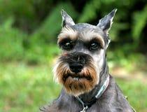 Schnauzer. Portrait of a Schnauzer dog Stock Images