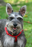 Schnauzer Royalty Free Stock Photos