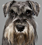Schnauzer Stock Photos