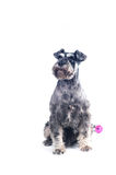Schnauzer Stock Photography