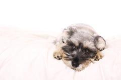 Schnauzer adorable en una cama blanca imagen de archivo