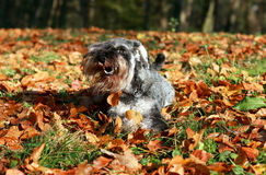 Schnauzer in the autumn Stock Photo
