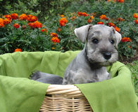 Schnauzer in a basket. Six weeks old pure breed miniature schnauzer puppy in a basket royalty free stock photo