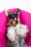 Schnauzer on a beanbag Stock Images