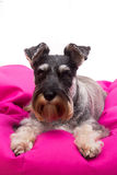 Schnauzer on a beanbag Royalty Free Stock Photography