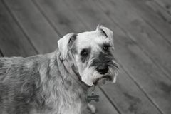 Schnauzer in black and white. Nelson. Pet schnauzer. 10 years old. In black and white Stock Photo