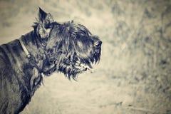 schnauzer bonito Fotografia de Stock Royalty Free