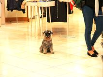 Schnauzer in boutique shop at venice, italy. A schnauzer dog sits in the floor of a boutique in venice royalty free stock photos
