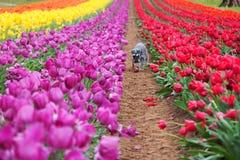 Schnauzer cercado por tulipas Fotos de Stock Royalty Free