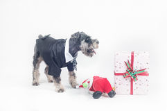 Schnauzer and Christmas gifts Royalty Free Stock Photos