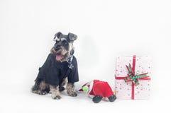 Schnauzer and Christmas gifts Stock Image