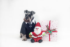 Schnauzer and Christmas gifts Royalty Free Stock Images