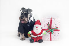 Schnauzer and Christmas gifts Stock Photo