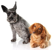 A schnauzer and a dachshund Stock Photography