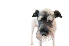 Schnauzer del perro Imagen de archivo libre de regalías