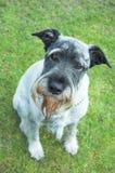 Schnauzer del perro Imagenes de archivo