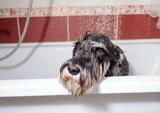 Schnauzer del perro negro en ducha de la toma del cuarto de ba?o fotografía de archivo