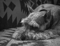 Schnauzer, der auf Couch stillsteht stockfotos