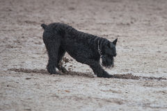 Schnauzer digging a hole in the sand Royalty Free Stock Photos