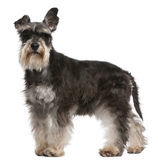 Schnauzer diminuto, 6 anos velho, posição Fotografia de Stock Royalty Free