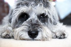 Schnauzer diminuto do cachorrinho fotografia de stock