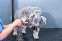 Schnauzer diminuto em uma sessão do cabeleireiro em uma clínica veterinária imagem de stock royalty free