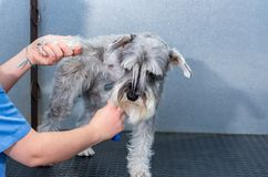 Schnauzer diminuto em uma sessão do cabeleireiro em uma clínica veterinária imagens de stock