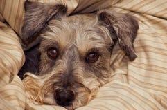 Schnauzer diminuto empacotado nos cobertores Imagens de Stock