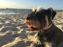 Schnauzer diminuto na praia Imagem de Stock Royalty Free