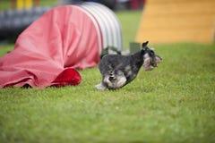 Schnauzer diminuto que corre em uma competição da agilidade do ar livre perto do túnel vermelho Fotografia de Stock Royalty Free
