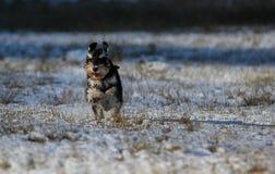 Schnauzer diminuto que está running em uma neve foto de stock