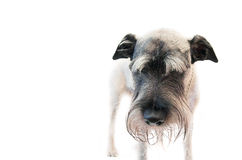 Schnauzer do cão imagem de stock royalty free