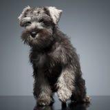 Schnauzer do cachorrinho que fica na tabela do estúdio Fotografia de Stock