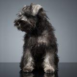Schnauzer do cachorrinho que fica na tabela do estúdio Imagens de Stock Royalty Free